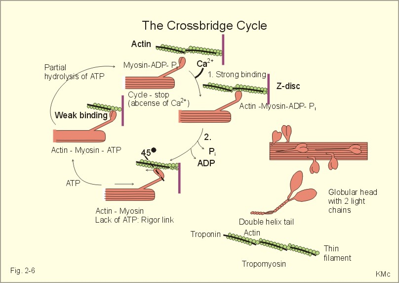 Clomid Cycle Shorten